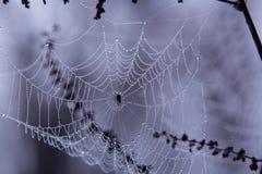 露水早晨蜘蛛网 库存图片