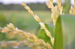 露滴特写镜头在玉米缨子的在清早 库存图片