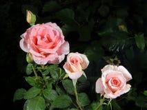 露水的开花的罗斯 免版税库存照片