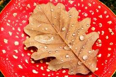 露水盖了在红色伞菌的叶子 免版税图库摄影