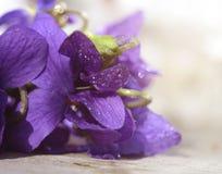 露水盖的森林紫罗兰类 第一朵春天花shooted特写镜头 美好的抽象春天花卉背景 免版税库存图片