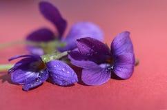 露水盖的森林紫罗兰类 第一朵春天花shooted特写镜头 美好的抽象春天花卉背景 免版税图库摄影