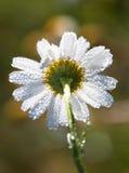 露滴,在花春黄菊的雨 免版税库存照片