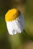 露滴,在花春黄菊的雨 免版税图库摄影
