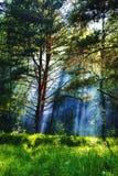阴霾在森林里 库存照片
