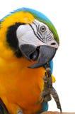 青和金子金刚鹦鹉 库存照片