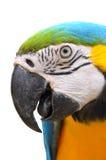 青和金子金刚鹦鹉 库存图片