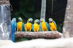 青和黄色金刚鹦鹉鸟。 免版税库存照片