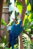青和黄色金刚鹦鹉,亦称青和金子金刚鹦鹉 库存照片
