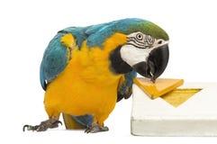 青和黄色金刚鹦鹉, Ara ararauna, 30岁,使用与难题 免版税库存图片