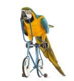青和黄色金刚鹦鹉, Ara ararauna, 30岁,骑一辆蓝色自行车 库存图片
