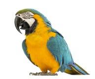 青和黄色金刚鹦鹉, Ara ararauna, 30岁 免版税库存照片