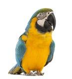 青和黄色金刚鹦鹉, Ara ararauna, 30岁 图库摄影