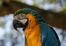 青和黄色金刚鹦鹉在瓜德罗普 免版税库存照片