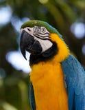 青和黄色金刚鹦鹉在瓜德罗普 库存图片