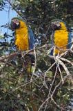 青和黄色金刚鹦鹉夫妇  免版税库存图片