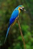 青和黄色金刚鹦鹉, Ara ararauna,亦称青和金子金刚鹦鹉画象,是与蓝色的一只大南美鹦鹉 免版税图库摄影