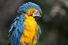 青和黄色金刚鹦鹉画象  库存照片
