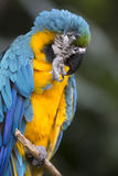 青和黄色金刚鹦鹉画象  免版税图库摄影