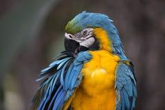 青和黄色金刚鹦鹉画象  免版税库存图片