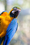 青和黄色金刚鹦鹉 图库摄影