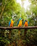 青和黄色金刚鹦鹉Ara ararauna在森林里 免版税图库摄影