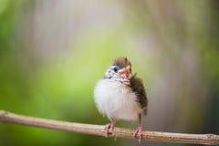 青少年共同性长尾缝叶鸟 库存图片
