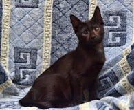 青少年在蓝色背景的shorthair小猫 免版税图库摄影