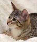 青少年的小猫3个月 免版税图库摄影