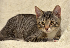 青少年的小猫3个月 免版税库存图片