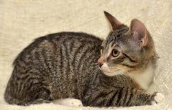 青少年的小猫3个月 图库摄影
