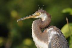 青少年tricolored放松在佛罗里达,美国的苍鹭 免版税库存图片