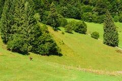 青山、绿色吃草森林和唯一的母牛 免版税库存图片