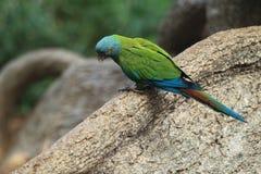青带头的金刚鹦鹉 免版税库存照片