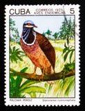 青带头的鹌鹑鸠Starnoenas cyanocephala,土产鸟serie,大约1975年 库存照片