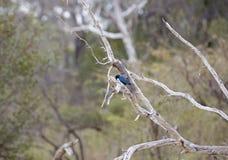 青有耳的椋鸟,塞卢斯禁猎区,坦桑尼亚 库存照片