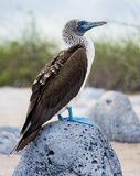 青有脚的笨蛋( 苏拉树nebouxii)在加拉帕戈斯群岛,厄瓜多尔 图库摄影