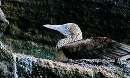 青有脚的gannet苏拉树nebouxii是海鸟,居住在美国的西海岸的热带水域中从加利福尼亚的 免版税库存图片