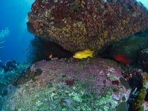 青条纹攫夺者和珊瑚石斑鱼 图库摄影