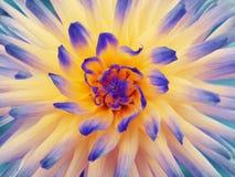 青橙色黄色大丽花的花 瓣色的光芒 特写镜头 在绽放的美丽的大丽花设计的 库存图片
