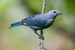 青灰色唐纳雀在哥斯达黎加 免版税库存照片