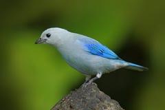 青灰色唐纳雀,异乎寻常的热带蓝色鸟形式巴拿马 免版税图库摄影
