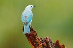 青灰色唐纳雀,从哥斯达黎加的异乎寻常的热带蓝色鸟 鸟坐美好的绿色青苔分支 鸟的监视人在南Ame 免版税库存照片