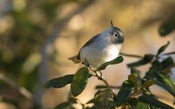 青灰色蚋莺(Polioptila caerulea) 库存照片