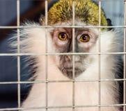 青猴通过笼子格子哀伤地看 免版税库存照片