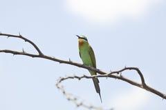 青的cheeked食蜂鸟,肯尼亚 免版税库存照片