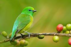 青的naped Chlorophonia, Chlorophonia cyanea,异乎寻常的热带绿色歌曲鸟形式哥伦比亚 库存图片