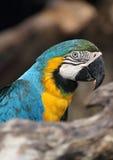 青红喉刺莺的金刚鹦鹉 免版税图库摄影