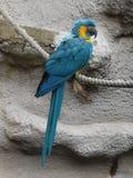 青红喉刺莺的金刚鹦鹉- Ara glaucogularis 免版税库存照片