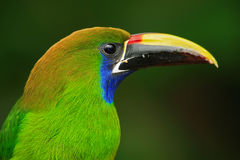 青红喉刺莺的Toucanet, Aulacorhynchus prasinus,绿色toucan鸟在自然栖所,哥斯达黎加细节画象  免版税库存图片